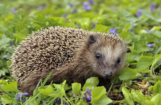 Action for Wildlife' rescues orphaned baby hedgehogs in Greece