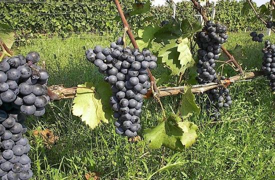 11 threatened Greek grapevine varieties to be saved
