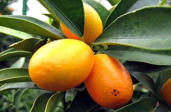 Enjoy Kumquat, the characteristic local drink of Corfu