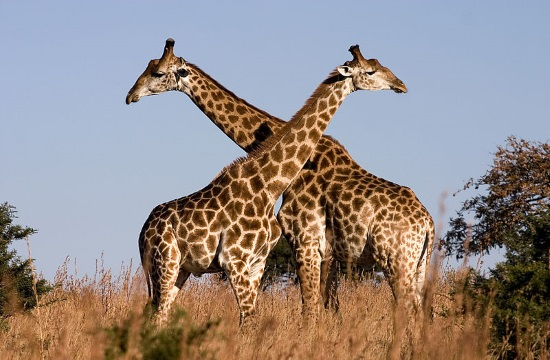 Kenya hotel offers breakfast with giraffes (video)