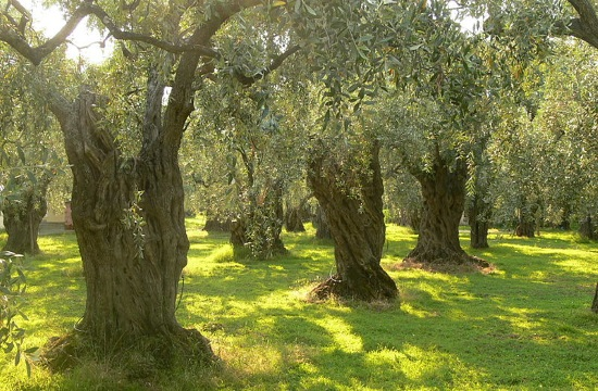Greek Olive oil ranks first in the world