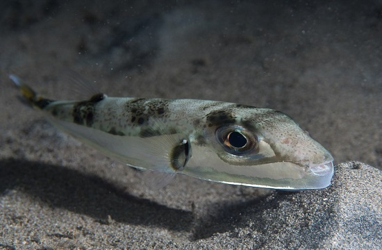 Alien fish species from Red Sea the focus of study in Aegean Sea of Greece