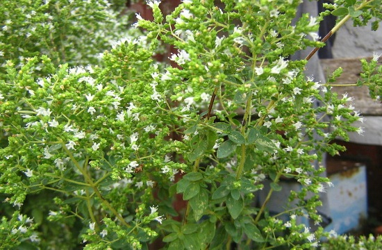 Greek Oregano among the healthiest and tastiest herbs on Earth