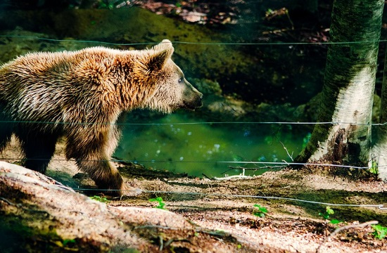 Brown bears wake up from hibernation in Arcturos shelter of Northern Greece