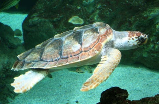 First sea turtles arrive on Crete island in Greece for the season