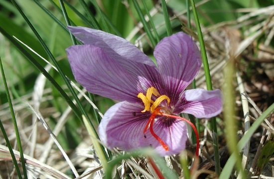 Saffron 'the red gold of the Greek land' to reach Chinese shops by 2019