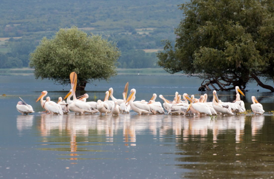 First visitors of Kerkini Lake started arriving from the north: Swans