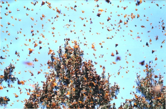 Swarm of thousands of butterflies passes through island of Cyprus