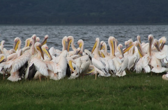 'Stranded' rosy pelicans flown by plane from Cyprus to Lake Kerkini in Greece