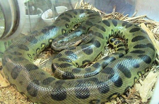 http://www.tornosnews.gr/en/files/anaconda_582286624.jpg Green Anaconda Attacks On Humans