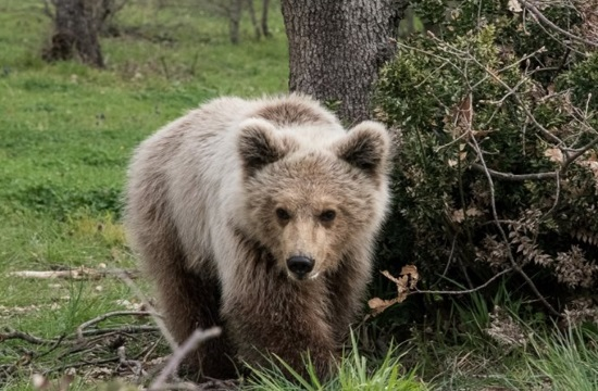 Low temperatures alert the biological clock of bears in Greece
