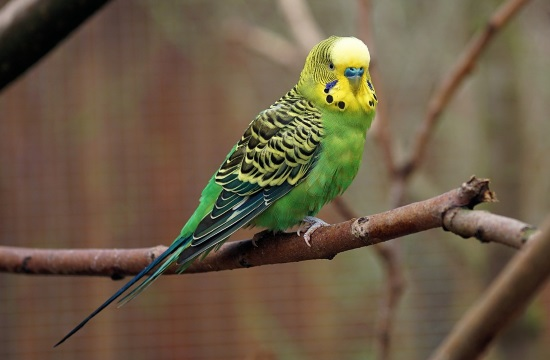Hellenic Ornithological Society carrying out parakeet count in Greek cities