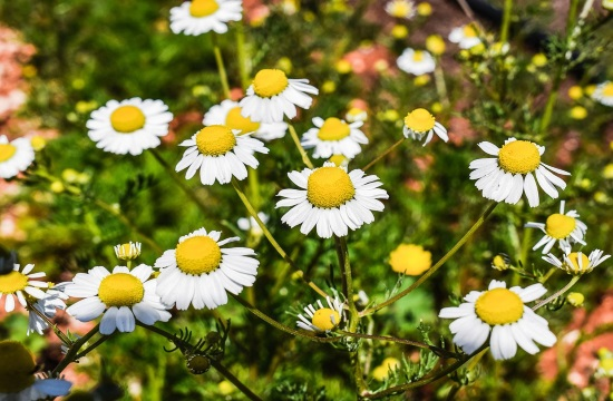 Enjoy the great benefits of Greek chamomile tea