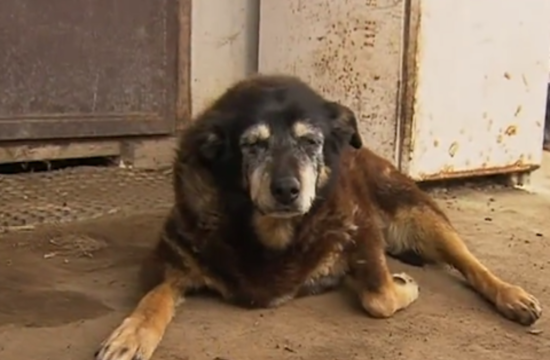 World's oldest dog dies at 30 years old or 200 in human years  (photos+video)