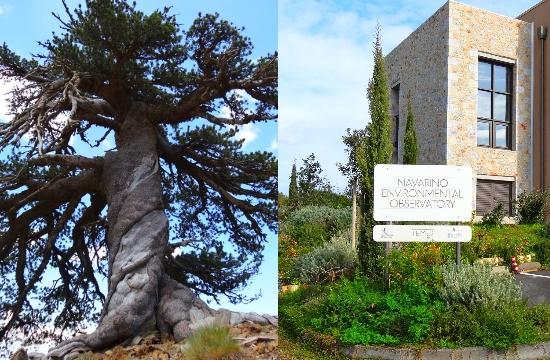 Navarino Environmental Observatory: Europe's oldest tree found in Greece