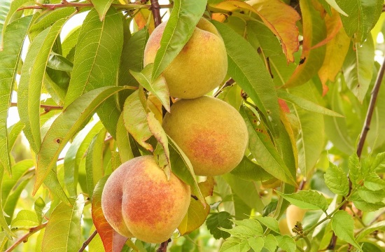 Greek producers lose half their peach crops to storm in Kozani