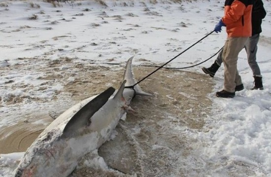 Sharks freeze to death in sub-zero temperatures in the US East Coast