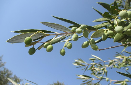 Turning to olive oil: From medicine, law, jewelry to olives