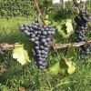 Growers optimistic as grape harvest begins on Santorini island