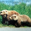Bear cubs Bradley and Cooper train for the wild in northern Greece