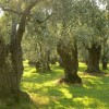 Chalkidiki's olives lauded in Russian travel magazine