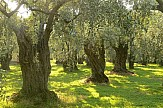 Report: Expanding production areas in the global olive oil market