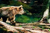 Injured bear survives four days caught in illegal snare in Prespes of Greece