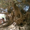 Ancient olive trees of Crete count more than 1.500 years of life