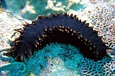 Sea cucumber, a new delicacy once used as bait in Greece