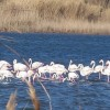 Eco-festival with pink flamingos in Kalochori lagoon in northern Greece