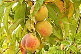 Greek exports of canned peach face obstacles