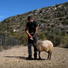 Meet the Cretan who trained his ram to act like a dog (video)