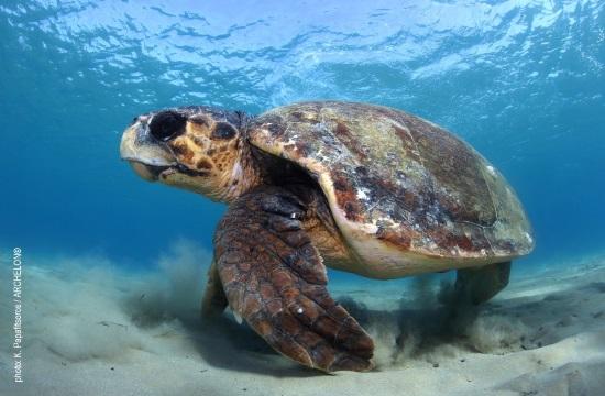 Παγκόσμια Ημέρα Θαλάσσιας Χελώνας - Τι συμβαίνει στο Κέντρο Διάσωσης του ΑΡΧΕΛΩΝ στη Γλυφάδα