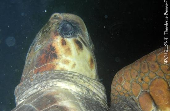 Απελευθέρωση θαλάσσιας χελώνας Caretta caretta «Aquis»