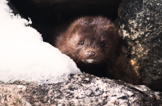 Μονάδα εκτροφής γουνοφόρων ζώων μινκ στη Φλώρινα