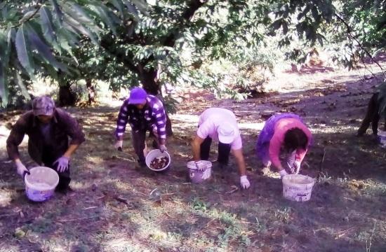 Ζωντάνεψαν και φέτος τα «Καστανωτά» στις ανατολικές πλαγιές του Ολύμπου στην Πιερία