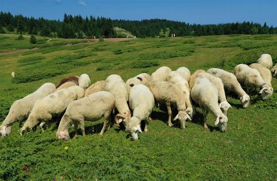 Σωτήρια λύση για υπό εξαφάνιση πρόβατα στη Κρήτη… και με τουριστικό αντίκτυπο