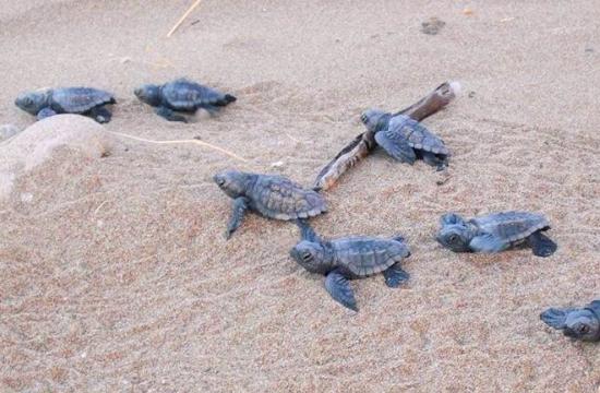 Πρόγραμμα προστασίας της θαλάσσιας χελώνας στον Κυπαρισσιακό
