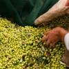Costa Navarino: Συγκομιδή ελιάς με αυθεντικές εμπειρίες τοπικής γαστρονομίας