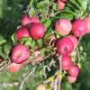 22η Γιορτή Μήλου στο Δήμο Αγιάς