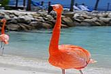 Η πιο ονειρική δουλειά στον κόσμο: Φροντιστής φλαμίνγκο στις Μπαχάμες!